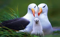 ALBATROSS_seabird_bird_birds_1920x1200