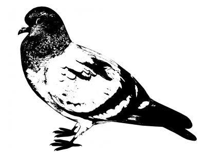 black-pigeon